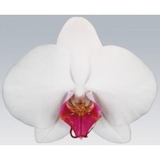 Орхидея Фаленопсис Red Lip