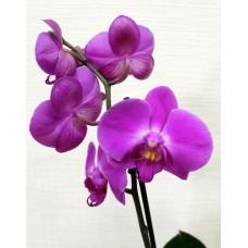 Орхидея Фаленопсис Red Stone