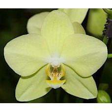 Орхидея Фаленопсис Amadeus