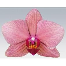 Орхидея Фаленопсис Avila