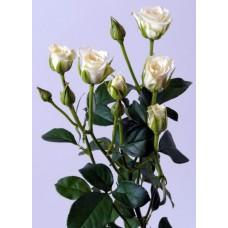 Кустовая роза Сноуфлейк