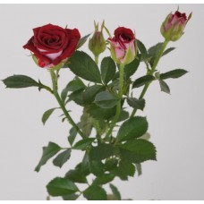 Кустовая роза Руби Стар