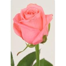 Роза Карина