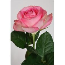 Роза Канди