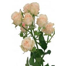 Кустовая роза Яна