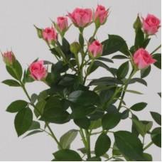 Кустовая роза Грация