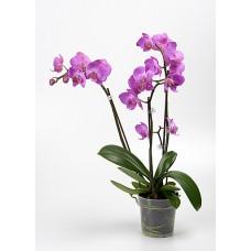 Орхидея Фаленопсис Napoli