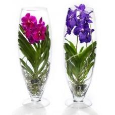 Орхидея Ванда в бокале